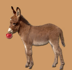 miniature donkey gelding for sale