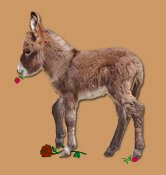 HHAA Drama Queen, red miniature donkey with star