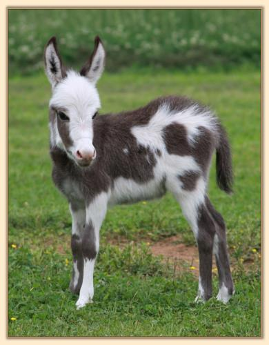 HHAA Justified, dark spotted miniature donkey jack