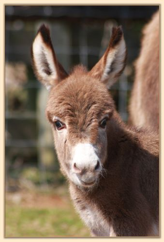Le Roux, dark red tiny miniature donkey jack