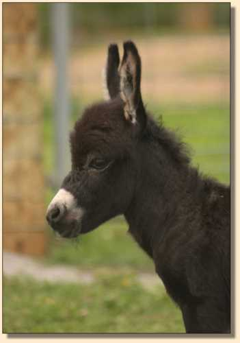 Miniature donkeys, HHAA Boy Toy