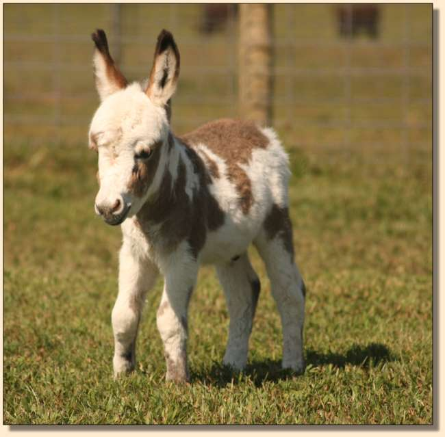 HHAA Hez'n Cahoots, miniature donkey newborn at Half Ass Acres