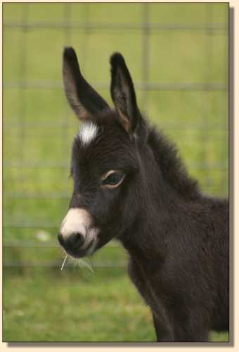 Miniature donkey for sale, HHAA Incognito (Nito)