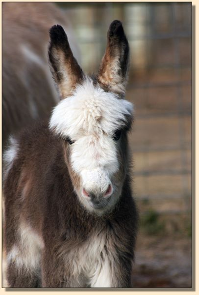 HHAA Marvel, a.k.a. Mar, miniature donkey for sale at Half Ass Acres.
