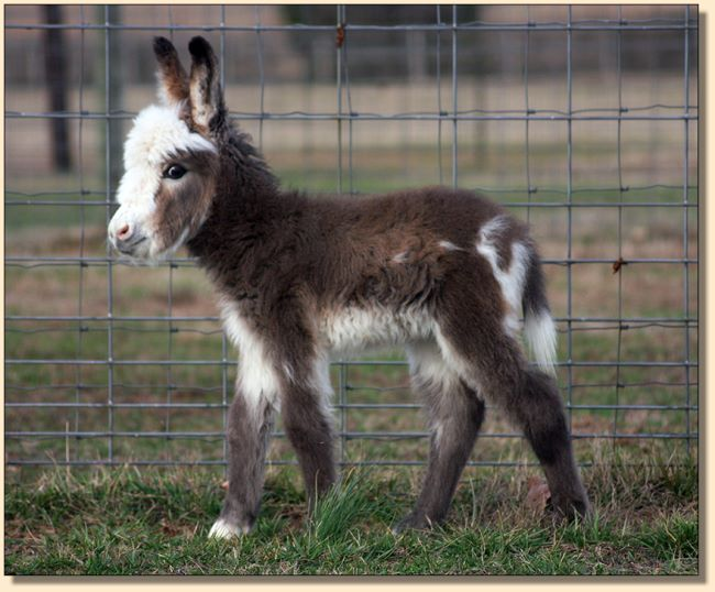 HHAA Marvel, a.k.a. Marv, miniature donkey for sale at Half Ass Acres.