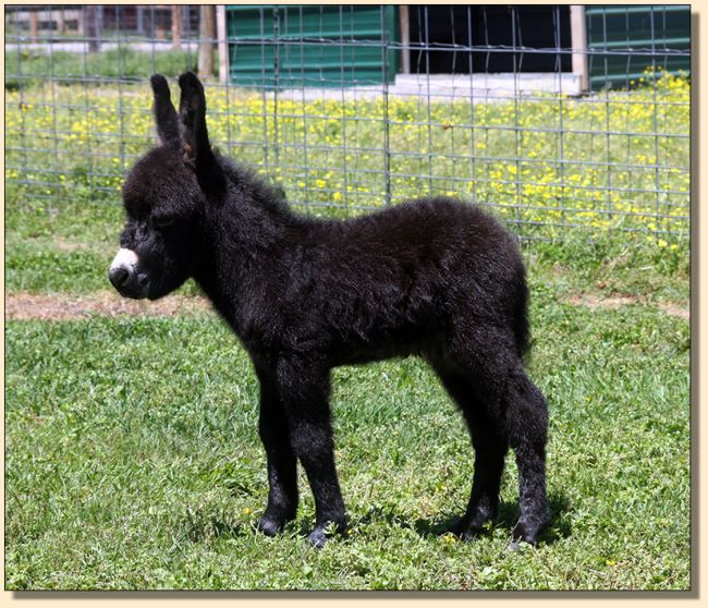 HHAA Will Power, black miniature donkey jack born at Half Ass Acres in 2017.