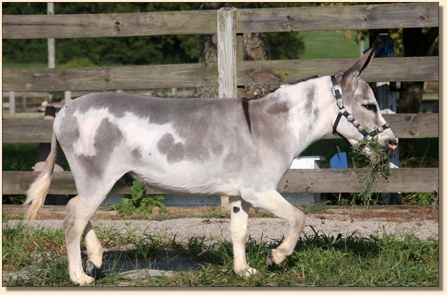 Little Miracles Drummer Boy, spotted miniature donkey gelding for sale.