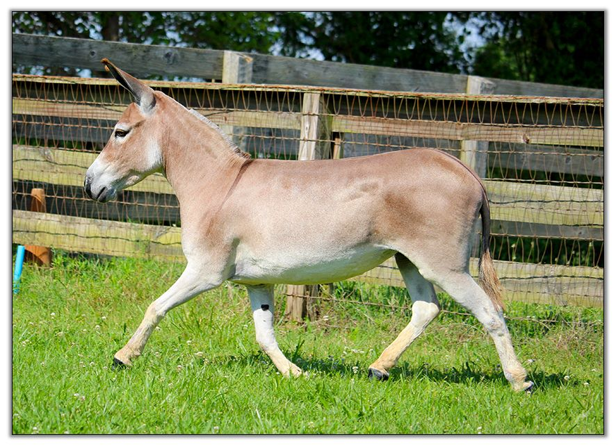 Miniature Donkeys for Sale at HAA Miniature Donkey Farm