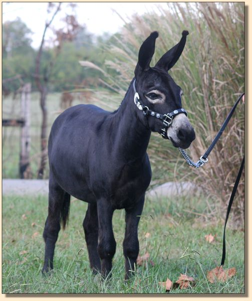 Kit Kat Kandy, black miniature donkey jennet for sale at Half Ass Acres