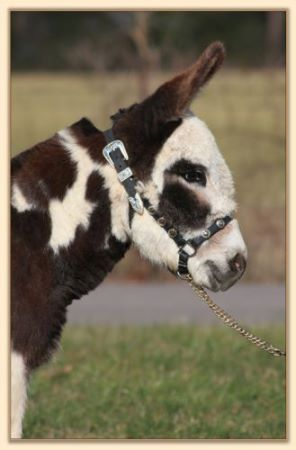 Parkway Farms Scout, dark brown and white spotted miniature donkey jack for sale