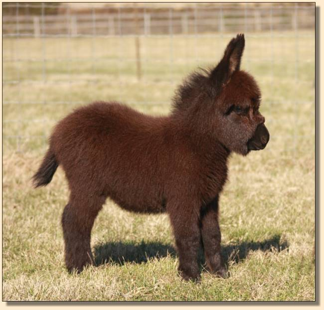 Black Miniature Donkey For Sale