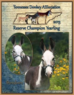 Showdown Reserve Champion Halter