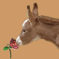 Kissed by a Rose - copywight Half Ass Acres Miniature Donkeys - Do Not Steal!