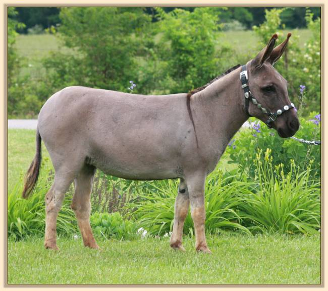 Stonegate Acres She's a Ten, miniature donkey for sale