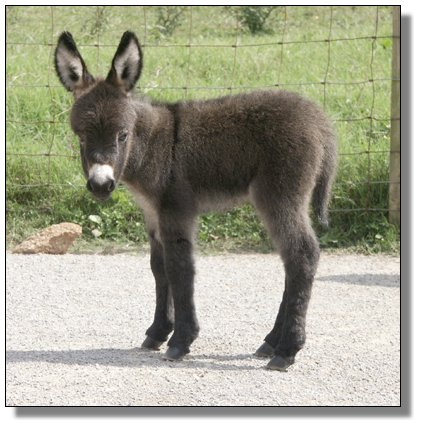 Baby Mini Donkeys For Sale