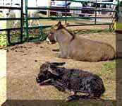 Miniature Donkey Dixie Chick's birth